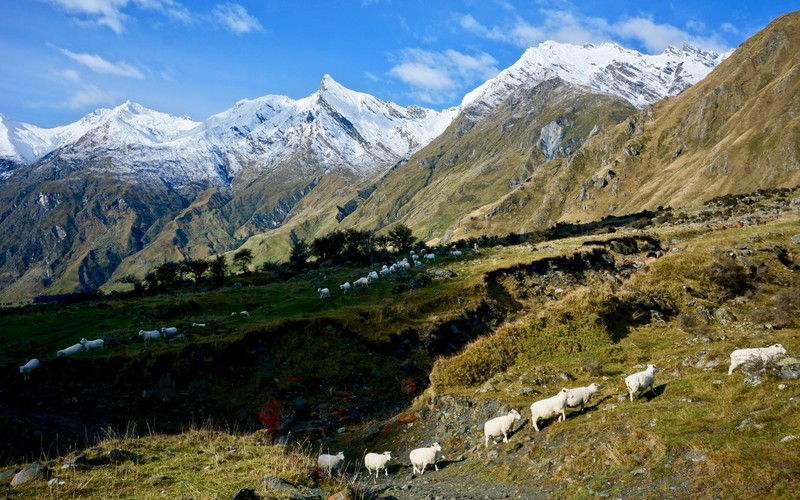 Line of sheep trekking across snow covered mountains
